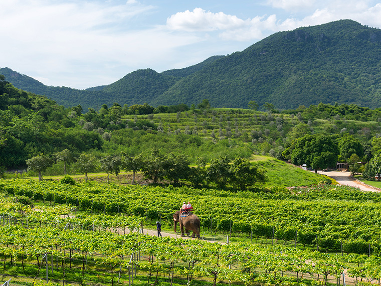 thai wine and vineyard experience in Pranburi, Hua Hin