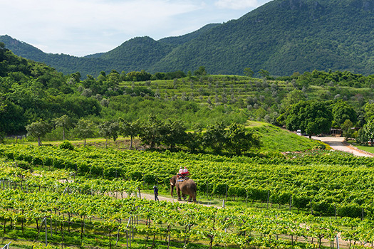 Thai Wine & Vineyard Visit